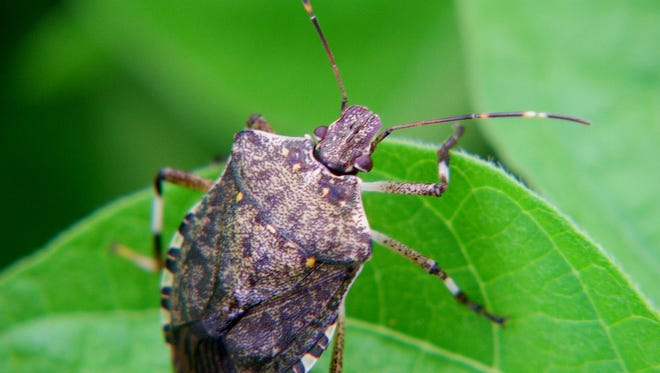 The population of Brown Marmorated Stink Bugs has declined the last two years, but researchers are unsure why. The insect can destroy crops, and it's a major nuisance to homeowners.