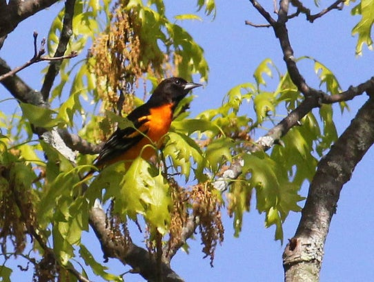 This Baltimore oriole was feeding on the same branch