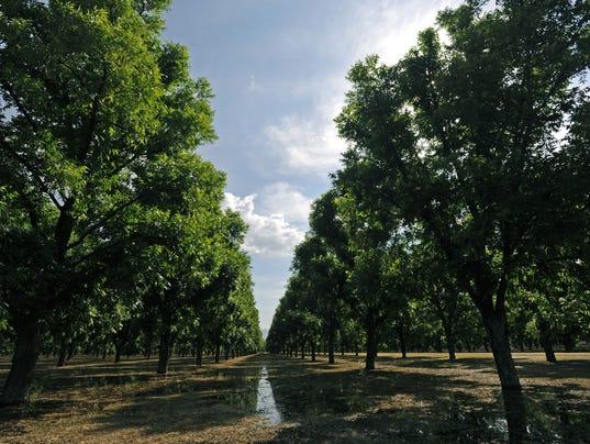 pecan-trees.jpg