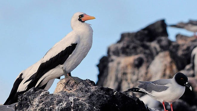 """A Nazca or """"masked"""" booby perches on a rock in the Galapagos Archipelago, on September 2, 2009."""
