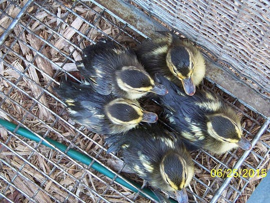 United FCS personnel rescued seven ducklings Thursday