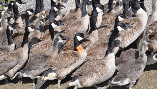 Canada geese stand in a pen during a 2016 banding project in James Bay, Ontario. The birds were in the process of molting wing and tail feathers and therefore flightless.