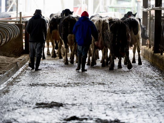 Farm hands walk cattle to be milked on Caleb Watson's