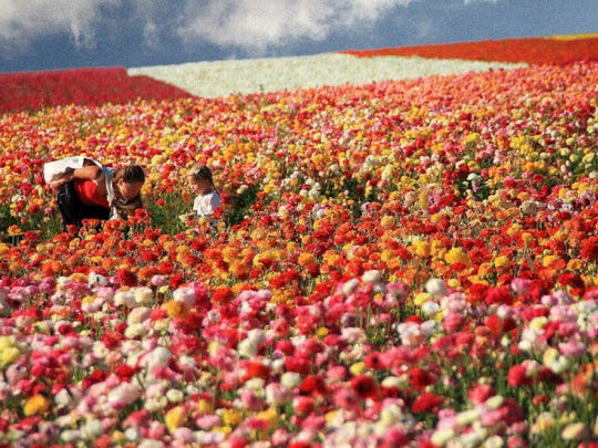 The Flower Fields of Carlsbad put on their show March 1 through May 14, enticing guests to stroll past oceans of planted flowers and beautiful gardens.