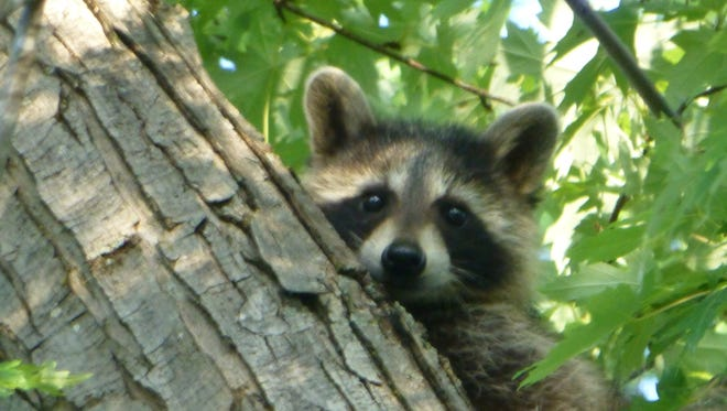Curious raccoon cub in maple tree.