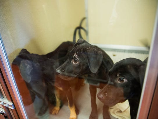 Puppies look out from their enclosure at the adoption