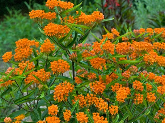 636193052198766376-asclepias-tuberosa-butterfly-weed-wg.jpg