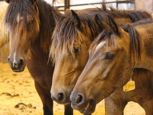 wild-mustangs-for-adoption