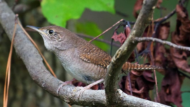 House wren has his throat full of air, ready to fuss up a storm.