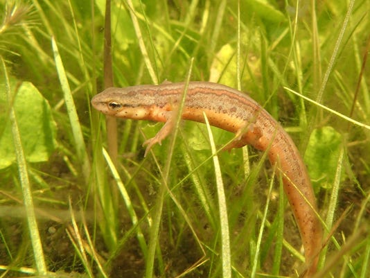 636663822436957715-Striped-Newt-just-relaesed-into-Pond-18.JPG