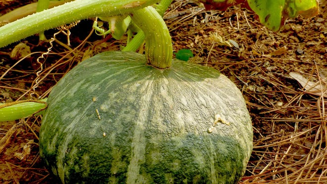 A buttercup winter squash is maturing on the vine. Maturation indicators are drying of the corky stem attachment, dried tendrils (the thin squiggly structure attached to the vine), dulling of the skin, creamy stripes that begin to pale, and a hollow ring when tapped with a knuckle.