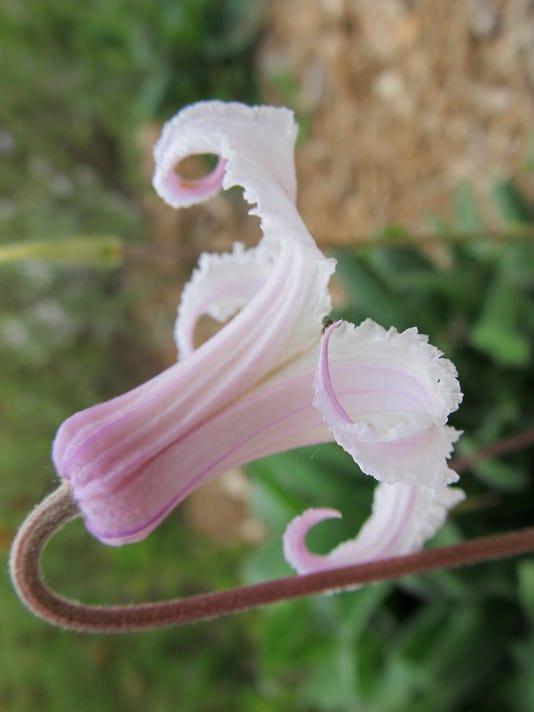 Pine-hyacinth.JPG