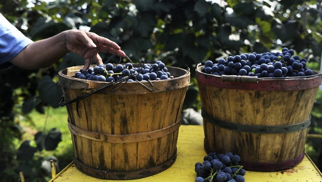 Ramona Sanchez places a freshly-picked bunch of Concord grapes in a bucket on Monday, Sept. 10, 2013, at Wenger Grape Farm and Vineyard in Waynesboro.