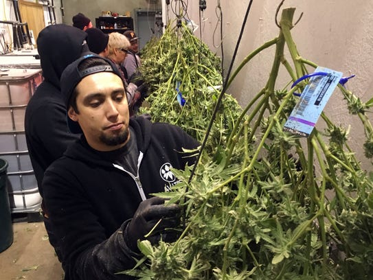 Anthony Uribes processes a marijuana plant with an