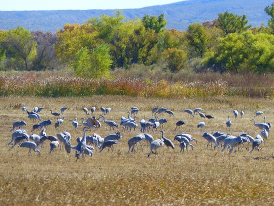 'Tis the season and sandhill cranes are on the migratory move from the Arctic Circle, Alaska and Northern Canada, flying 5,000 miles to New Mexico in late fall and winter.