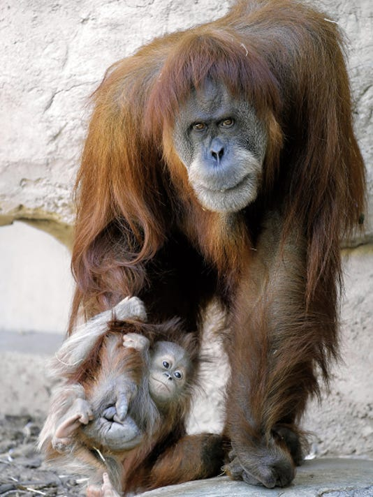 Khaleesi the baby orangutan, who was born April 23 hangs onto her mother Ibu's arm, as the two made one of their initial appearances at the El Paso Zoo.