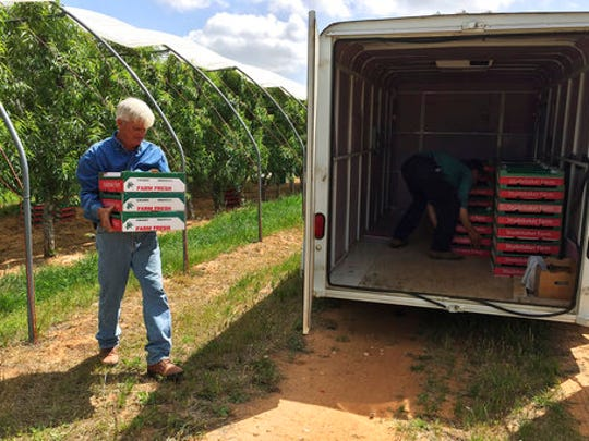 """Farmer Russ Studebaker, left, and worker Melvin Horst load flats of peaches they picked from Studebaker's orchard on Thursday, April 20, 2017 in Stonewall, Texas. Winter pretty much stood Central Texas up this year, and the evidence will soon be showing in this summer's lackluster crop of Hill Country peaches. Lacking an adequate number of """"chill hours,"""" what is budding came out early, and the varieties that tend to be ready later in the season pretty much took the season off. """"I'm just glad we have some peaches,"""" longtime peach farmer Russ Studebaker said, estimating about a 30 percent crop. Peaches in general will be in high demand this year, as the cold weather that missed the Texas orchards hit the Georgia and Carolinas peach crops hard."""