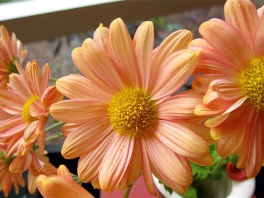 Apricot Korean Mum is one of the heirloom plants at
