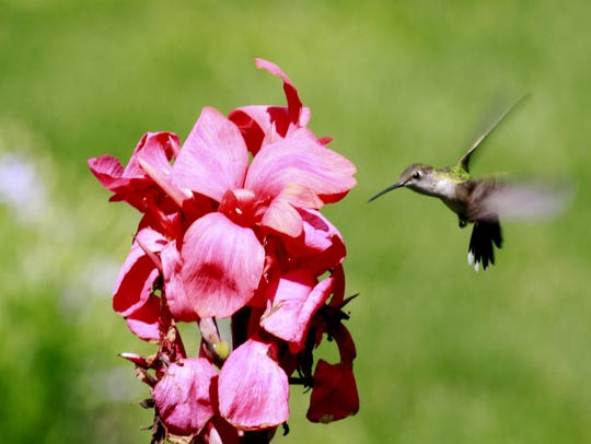 A hummingbird nectaring in one of the formal gardens.