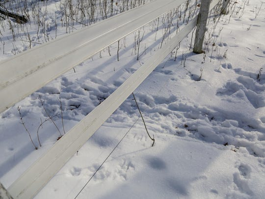 Coyote tracks emerge from the woods and go under the fencing around Meyers'  property in Oxford Township.