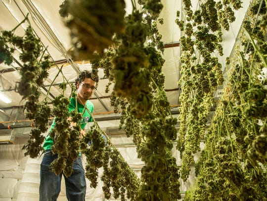 Ryan Lewis checks drying marijuana buds in