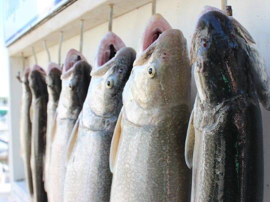 Lake trout caught aboard the Best Chance, Too in Saugatuck await their fate back on the dock.