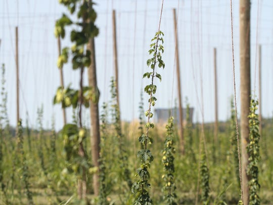 Rows of hop flowers grow at Buck Creek Hops Farm north of Iowa City on Wednesday, Aug. 26, 2015.