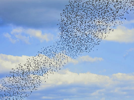 Constantly changing shape, a murmuration cloud of thousands of European starlings flows across an agricultural landscape.