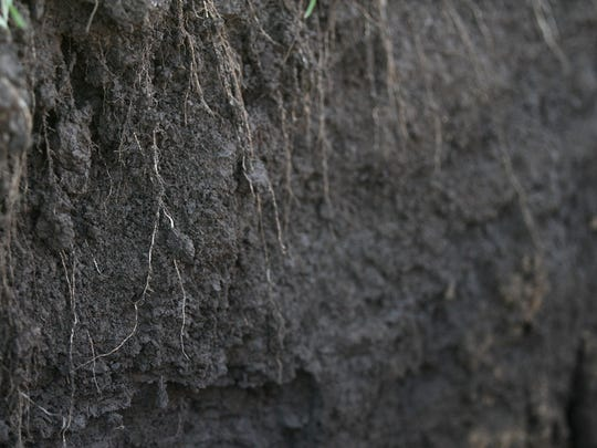 Roots of cereal rye cover crops extend deep into the soil of Steve Berger's farm in Wellman on Wednesday, Dec. 16, 2015. Berger is an advocate for cover crops and no-till farming, and the benefits they have for farms and communities.