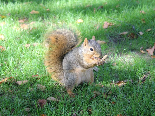 """Members of """"The Squirrel Club"""" at the University of Michigan feed peanuts to squirrels on the campus in Ann Arbor.  The club is among the most popular on campus."""