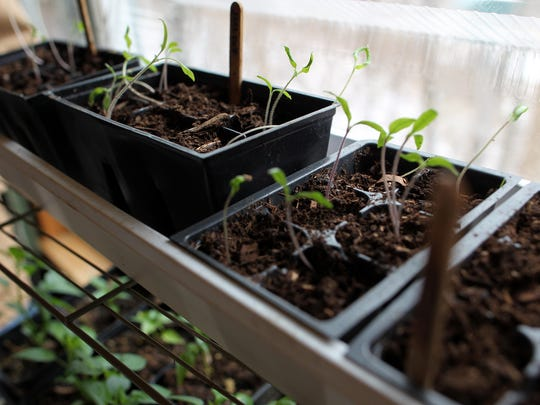 Some of Perry Ross' tomatoes begin to grow on Monday, Feb. 8, 2016.