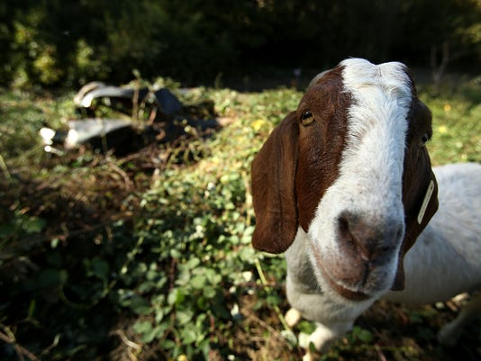 635919209967754559-SAL-Goats-5.jpg