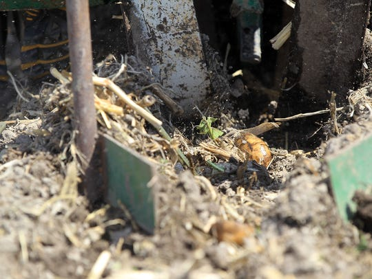 Potatoes are planted on a plot of land west of Iowa