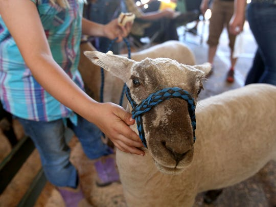 Riana Martin prepares to show her lamb Syringa during the 78th Annual Marion County Lamb & Wool Show on Saturday, June 6, 2015, in Turner, Ore.