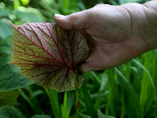 Kathy Palmer reveals the underside of a hardy begonia plant in her garden at her Salem home.