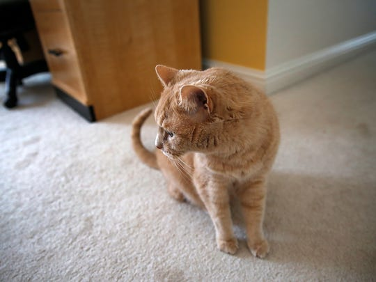 Hannah Wilson's cat, Mac, spends most of his time in Hannah's room in the Wilsons' home in Fishers.