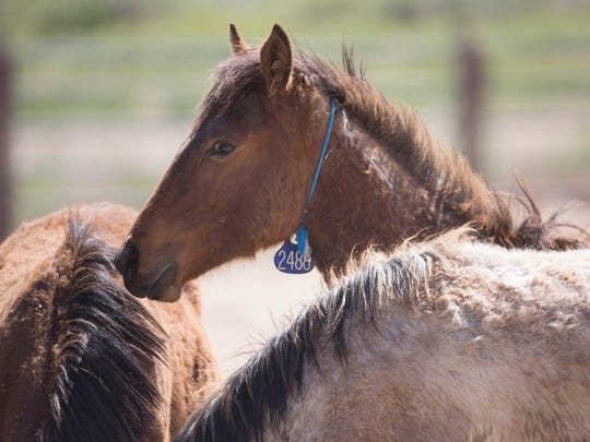 Horses stand in the Bureau of Land Management's National Wild Horse and Burro Center at Palomino Valley, outside Reno, Nevada, where horses captured from public lands are offered for adoption or prepared for trucking to leased pastures on the Great Plains.