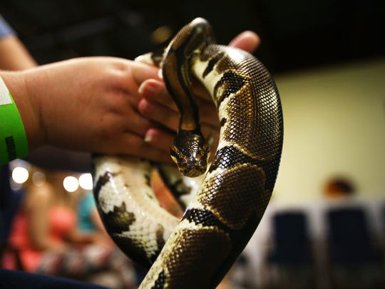 The Calusa Nature Center and Planetarium's resident ball python prepares for his time in the limelight, in front of daily visitors.