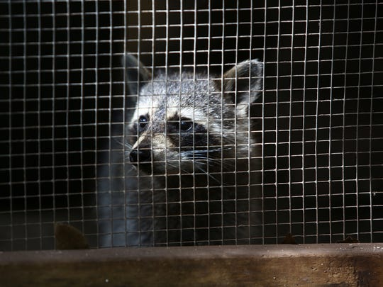 One of the center's many raccoons watches the red foxes play from his own enclosure at the Calusa Nature Center and Planetarium in Fort Myers.