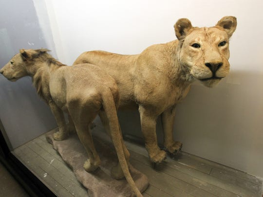 Two lions, which once roamed the City Park Zoo in Iowa