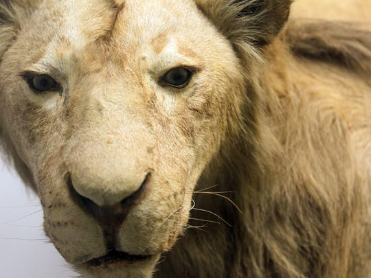 A male lion, Henry, which once roamed the City Park