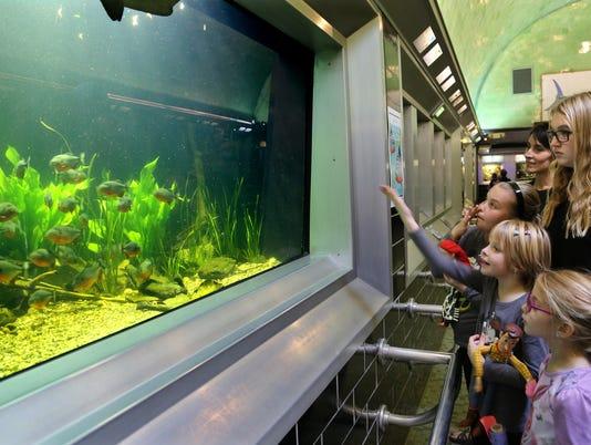 Piranhas From Amazon River Draw Crowd At Detroit S Belle Isle Aquarium