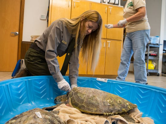 Donna Shaver, Chief of the Division of Sea Turtle Science and Recovery, removes fishing line from a cold stunned sea turtle that was found and brought the her lab at Padre Island National Seashore on Monday Jan. 9, 2017.