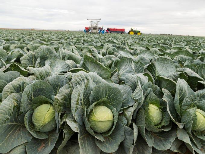 Farm workers harvest cabbage at Amigo Farms in Yuma,