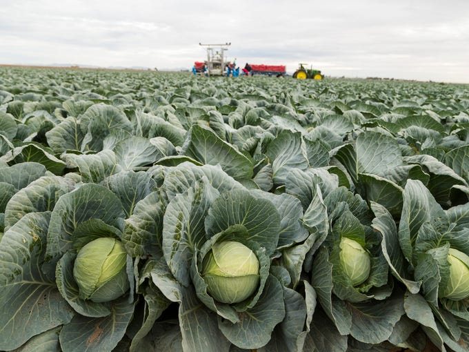 Farm workers harvest cabbage at Amigo Farms in Yuma,