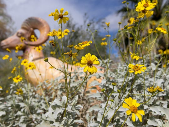 This photo of a brittle brush plant blooming in front of a bighorn sheep statue was shot at the Santa Rosa & San Jacinto Mountains National Monument Visitor Center, site of last year Coachella Valley Wildflower Festival. The festival has moved this year to Palm Desert Civic Park.