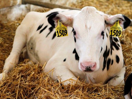 WSF stock heifer