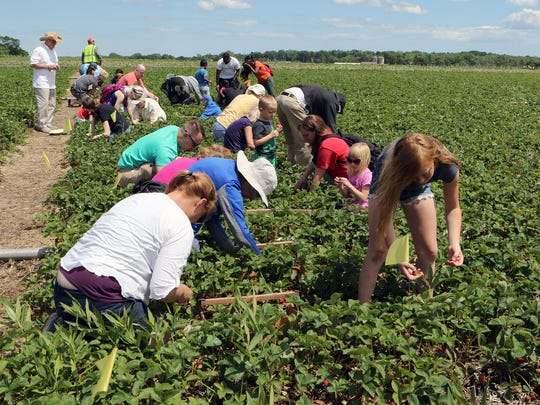 Strawberry pickers at Basse's Farm Market in Colgate head down rows of strawberries on June 24. Plants were loaded with berries, which made for easy picking.