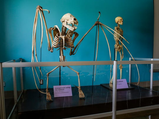 A 13 times life size enlarged fruit eating bat skeleton