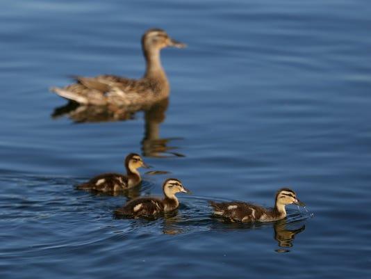 636349853874912361-Wildart-Ducklings-ar-01.JPG